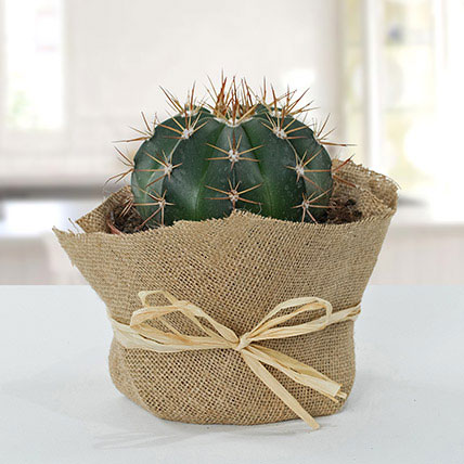 Amazing Cactus With Jute Wrapped Pot: Outdoor Potted Plants