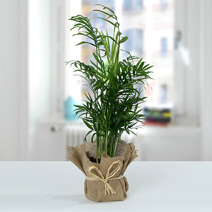 Chamaedorea In Jute Wrapped Plant: House Plants