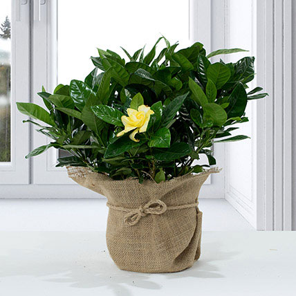 Gardenia Jasminoides With Jute Wrapped Pot: Same Day Delivery Gifts