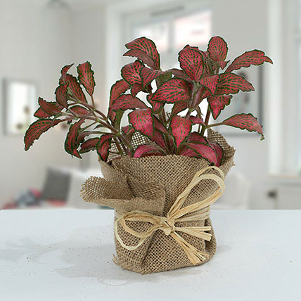 Lovely Fittonia Plant N Jute Wrapped Pot: Same Day Delivery Gifts