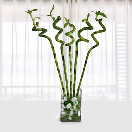 Spiral Bamboo: House Plants