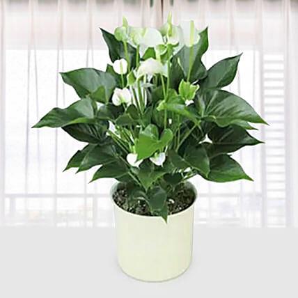 White Anthurium Plant: Indoor Plants