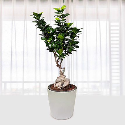 Ficus Bonsai Plant In Ceramic Pot: Outdoor Potted Plants