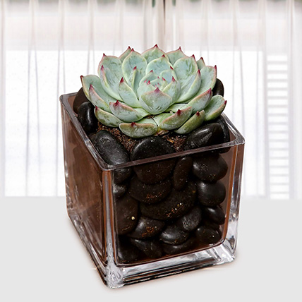 Green Echeveria Plant In Square Vase: House Plants