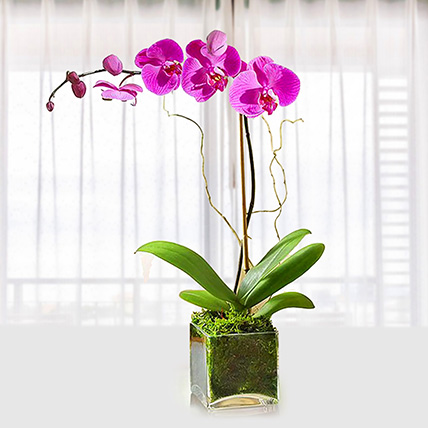 Purple Orchid Plant In Glass Vase: Same Day Delivery Gifts