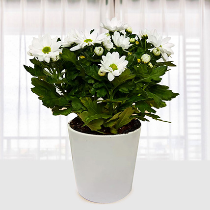 White Chrysanthemum Plant: Plants