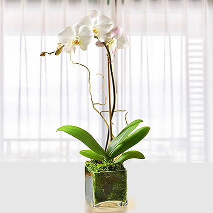 White Orchid Plant In Glass Vase: Indoor Plants