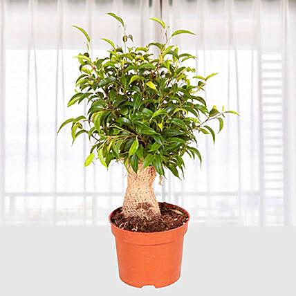 Ficus Benji Natasja: Indoor Plants