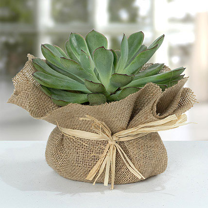 Green Echeveria Jute Wrapped Plant